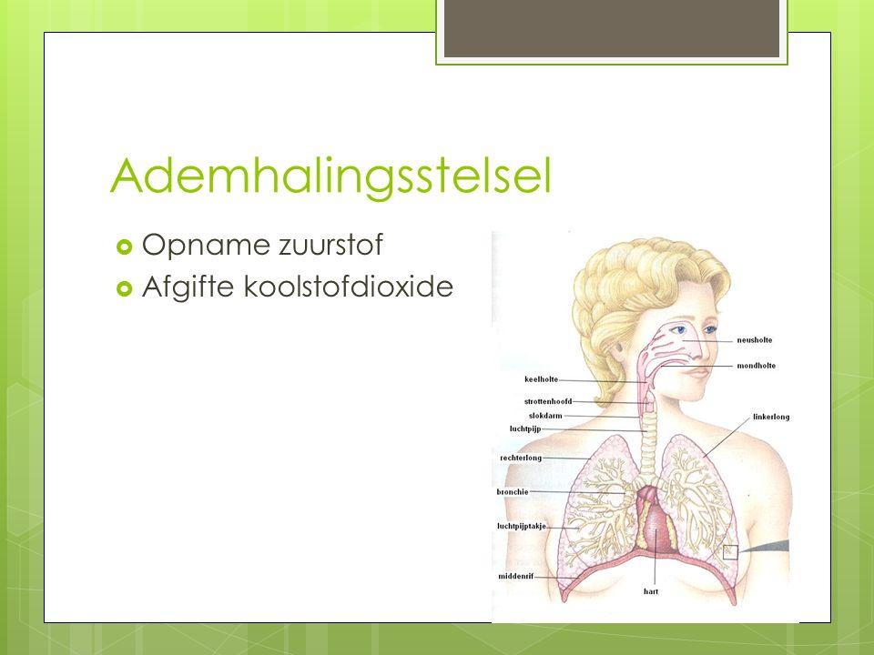 Ademhalingsstelsel Opname zuurstof Afgifte koolstofdioxide