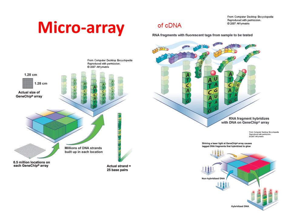 Micro-array of cDNA