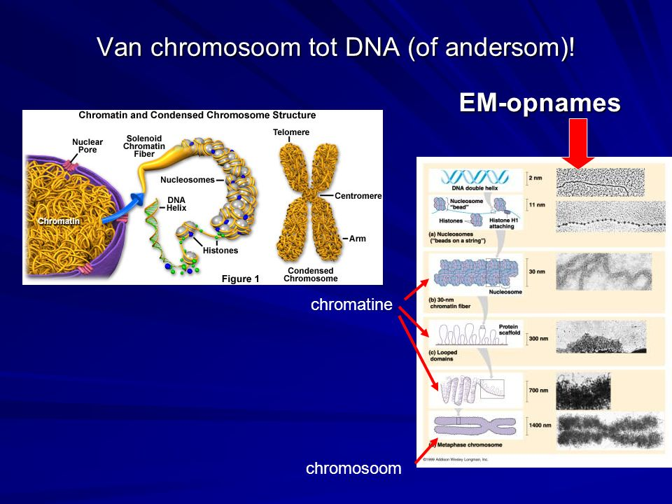 Van chromosoom tot DNA (of andersom)!