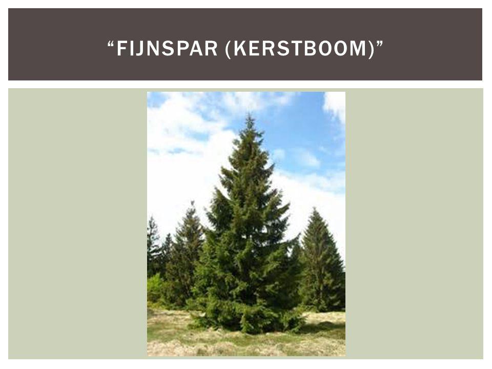 Fijnspar (Kerstboom)