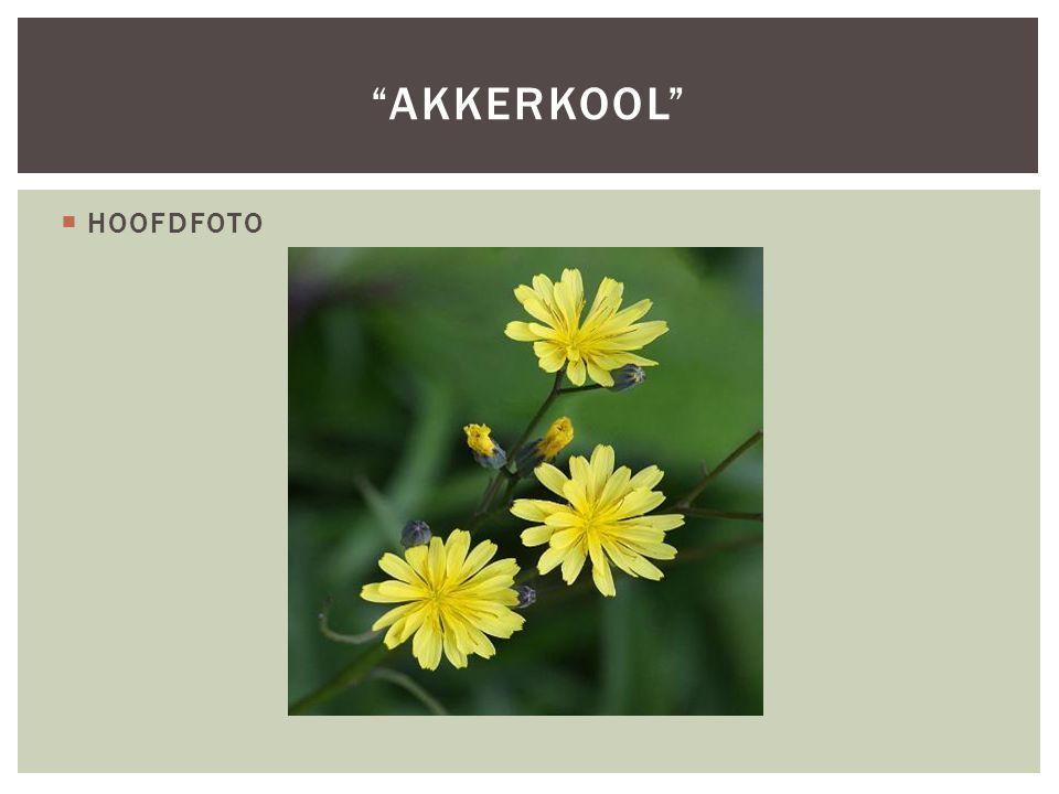 Akkerkool HOOFDFOTO