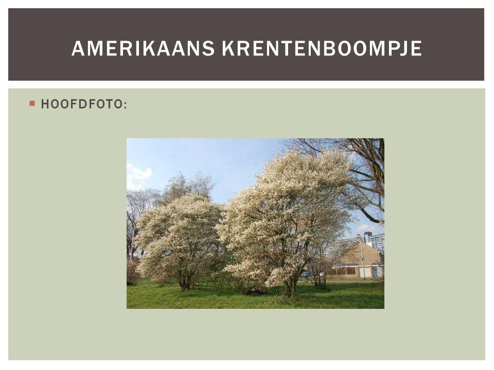 Amerikaans krentenboompje