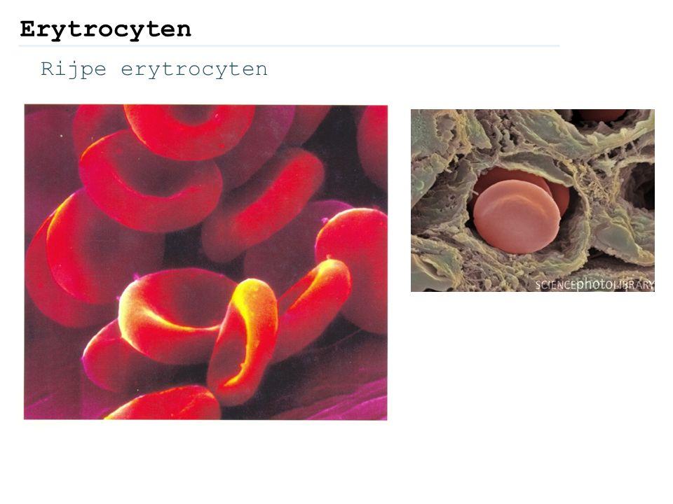 Erytrocyten Rijpe erytrocyten