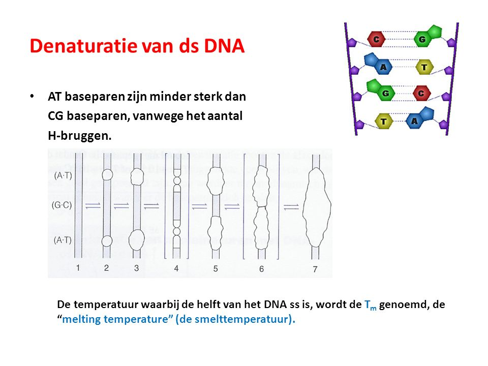 Denaturatie van ds DNA AT baseparen zijn minder sterk dan