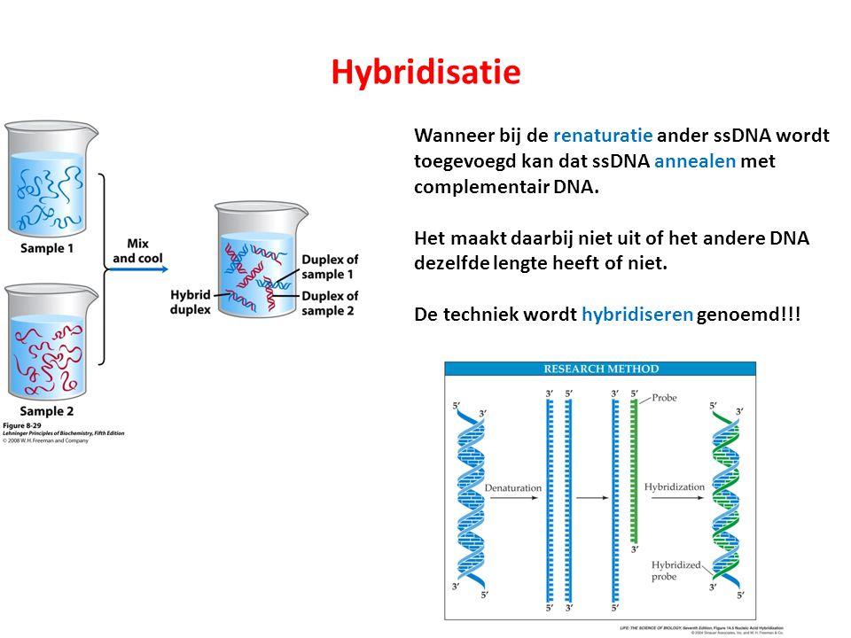 Hybridisatie Wanneer bij de renaturatie ander ssDNA wordt toegevoegd kan dat ssDNA annealen met complementair DNA.