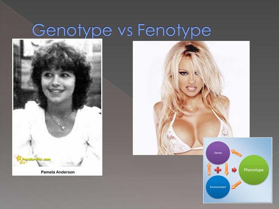 Genotype vs Fenotype Genen zijn meegekregen van de ouders  genotype