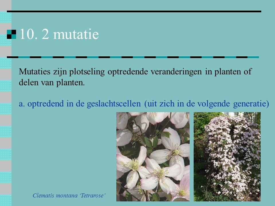 10. 2 mutatie Mutaties zijn plotseling optredende veranderingen in planten of delen van planten. Clematis montana 'Tetrarose'