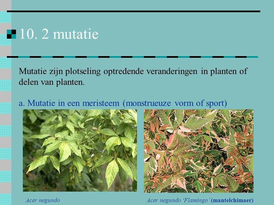 10. 2 mutatie Mutatie zijn plotseling optredende veranderingen in planten of delen van planten.