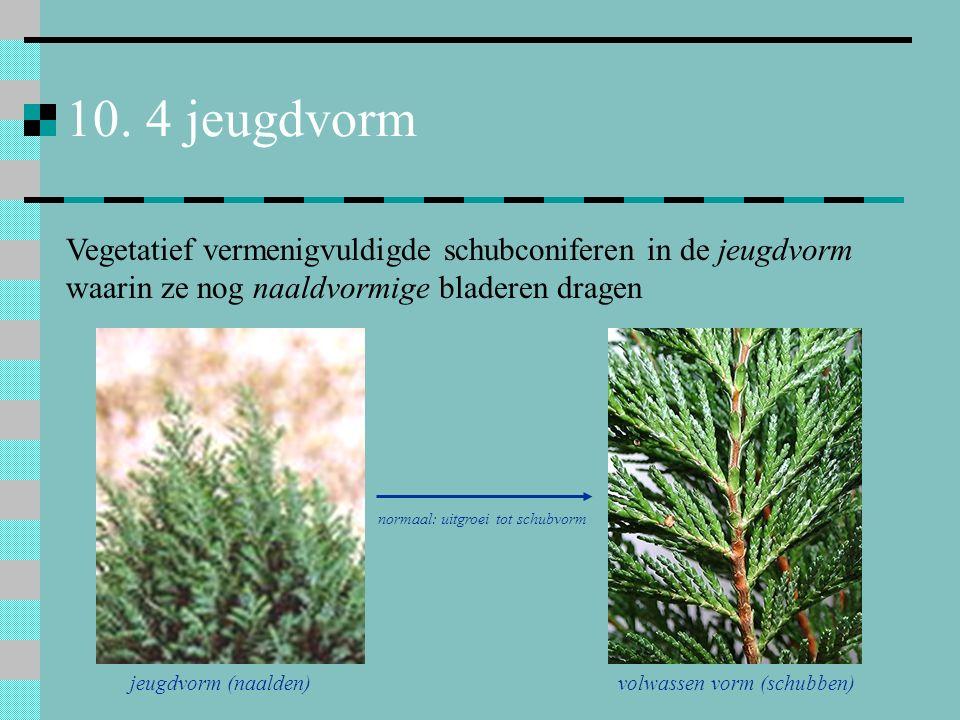 10. 4 jeugdvorm Vegetatief vermenigvuldigde schubconiferen in de jeugdvorm waarin ze nog naaldvormige bladeren dragen.