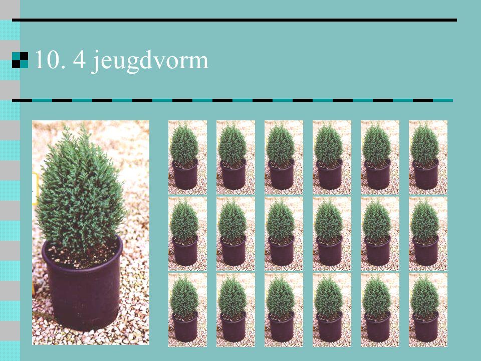 10. 4 jeugdvorm bij vegetatieve vermeerdering: de nakomelingen behouden de naaldvormige bladeren