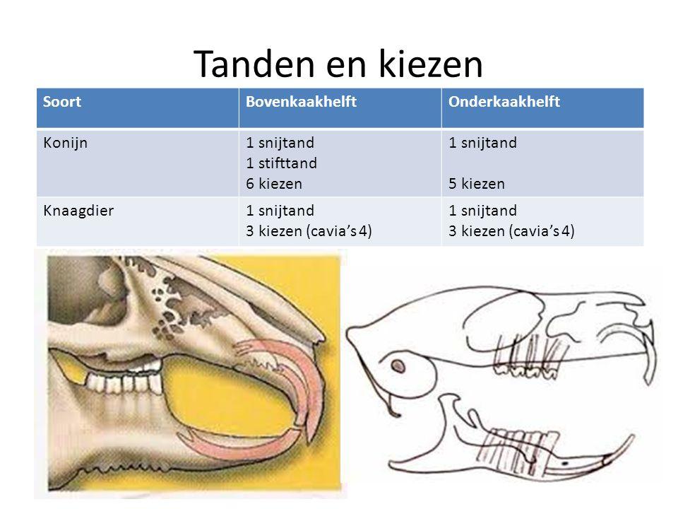 Tanden en kiezen Soort Bovenkaakhelft Onderkaakhelft Konijn 1 snijtand
