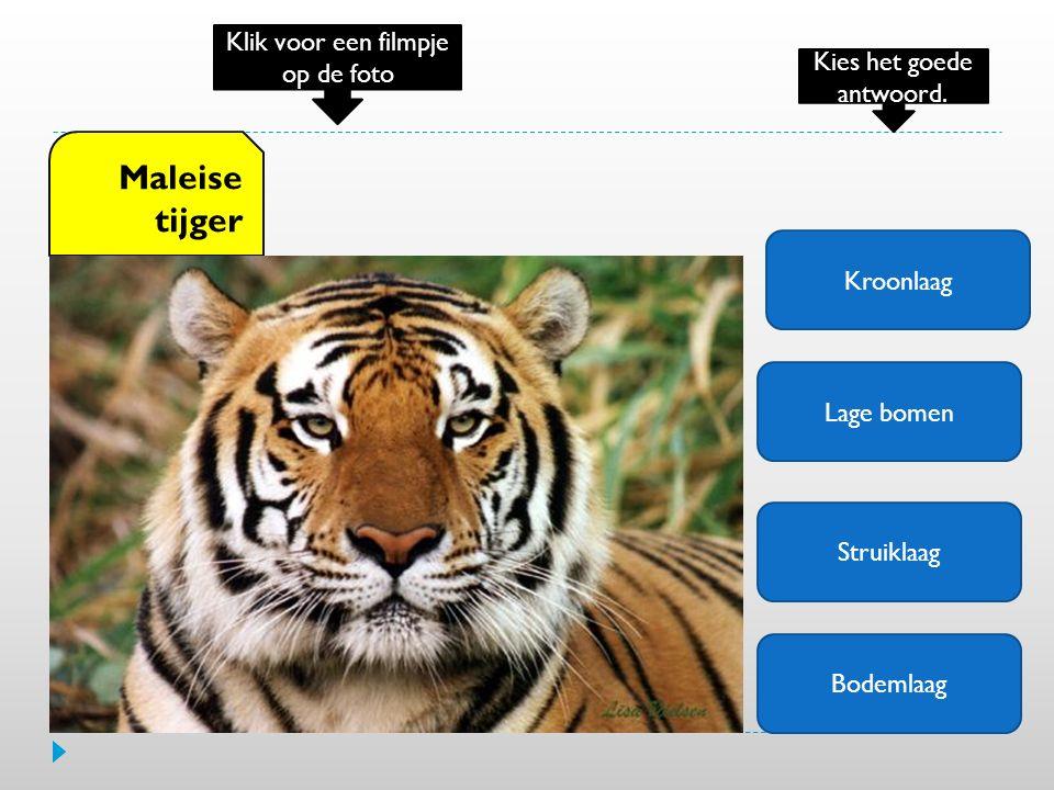 Maleise tijger Klik voor een filmpje op de foto