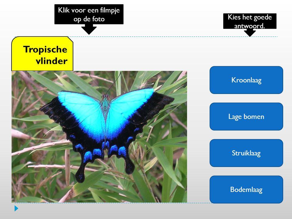 Tropische vlinder Klik voor een filmpje op de foto