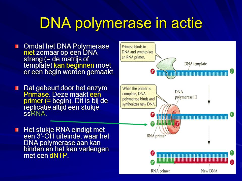 DNA polymerase in actie