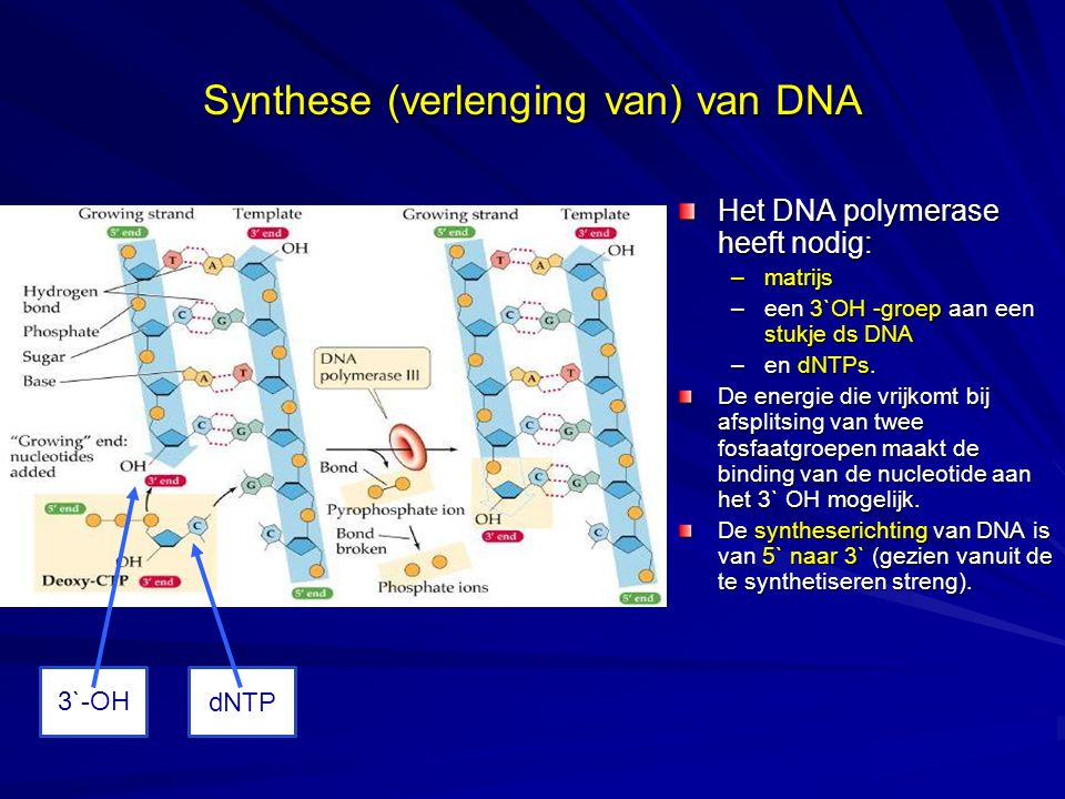 Synthese (verlenging van) van DNA
