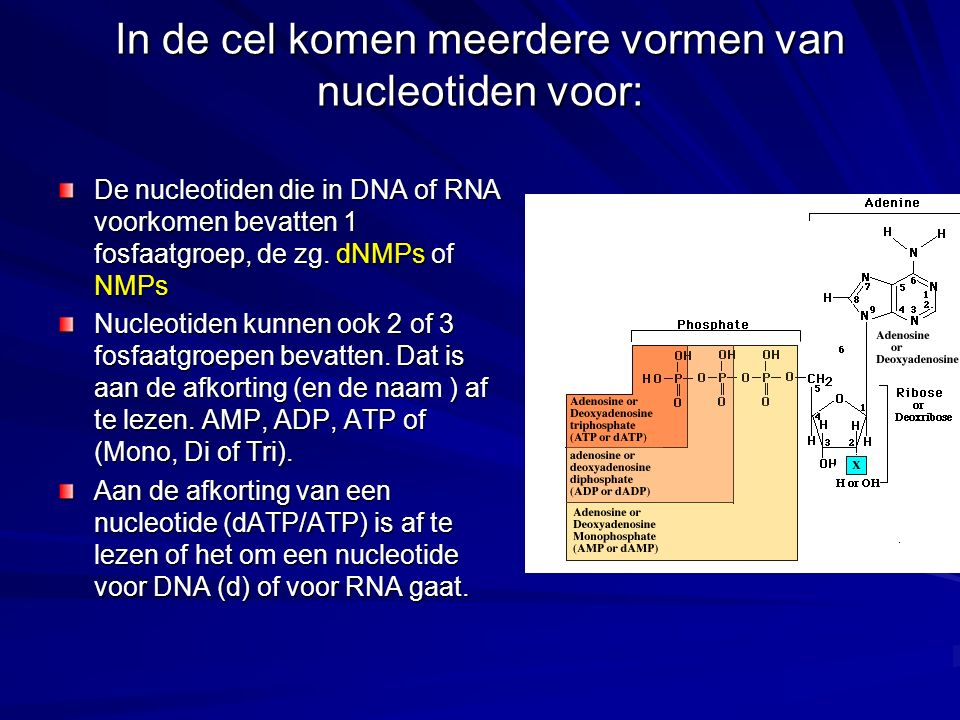 In de cel komen meerdere vormen van nucleotiden voor: