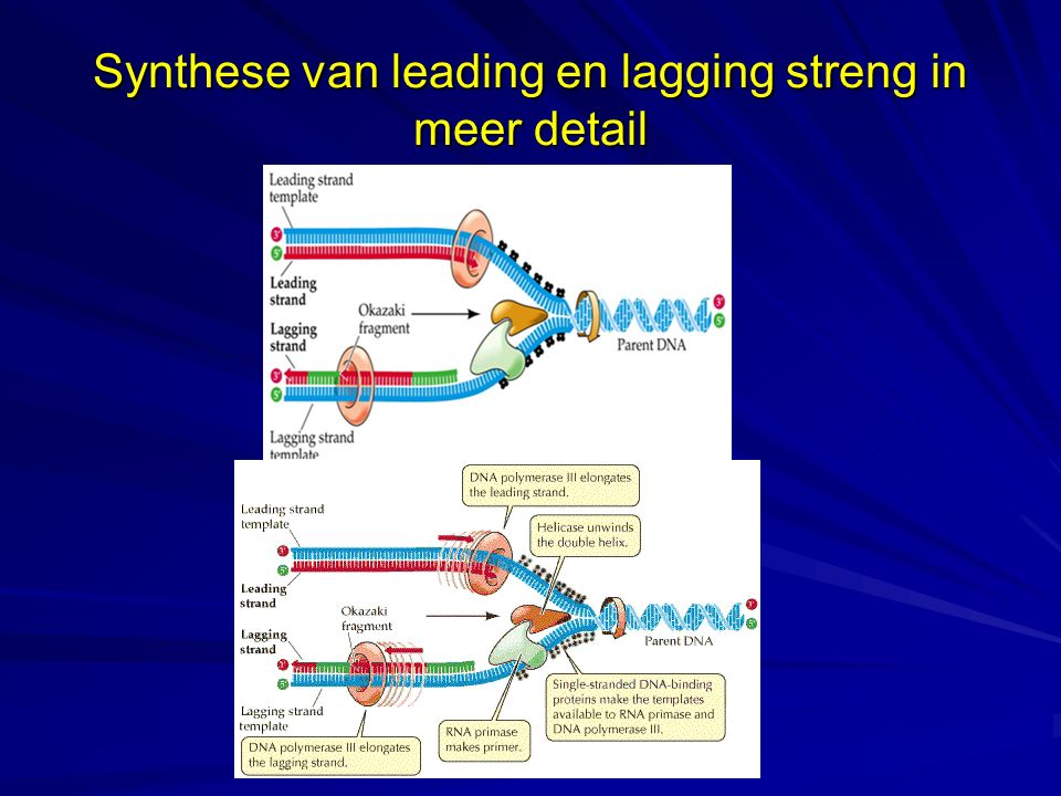 Synthese van leading en lagging streng in meer detail
