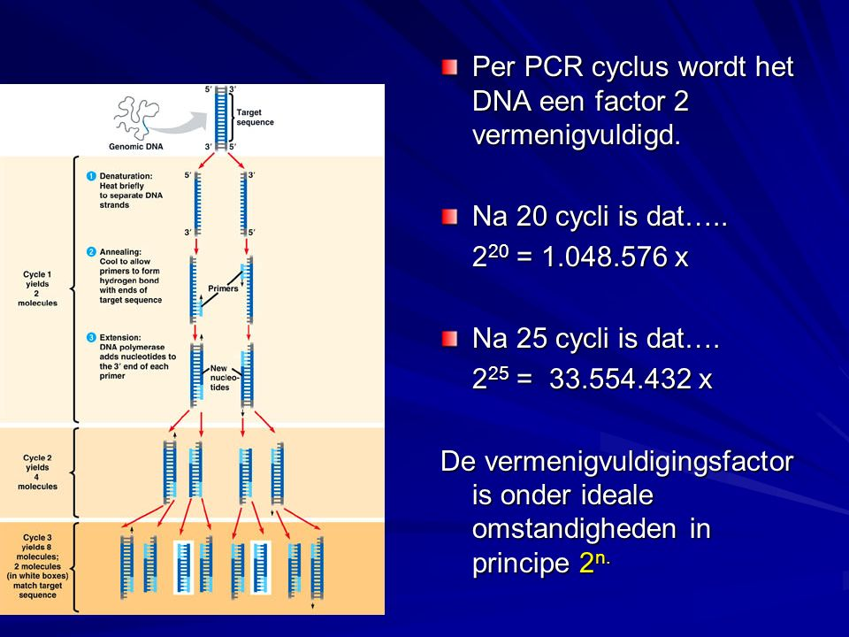 Per PCR cyclus wordt het DNA een factor 2 vermenigvuldigd.
