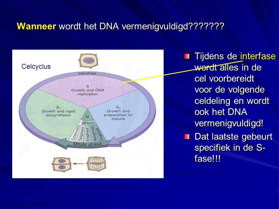 Wanneer wordt het DNA vermenigvuldigd