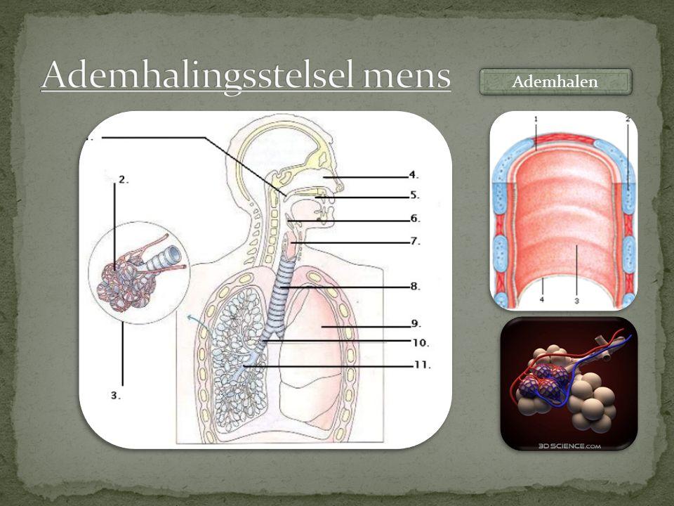 Ademhalingsstelsel mens