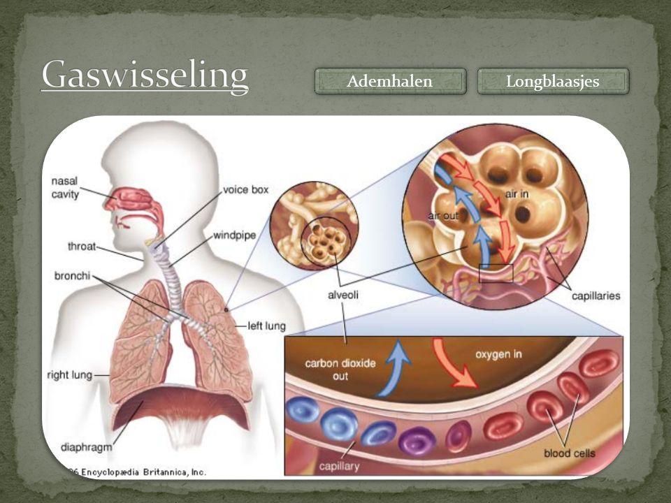 Gaswisseling Ademhalen Longblaasjes