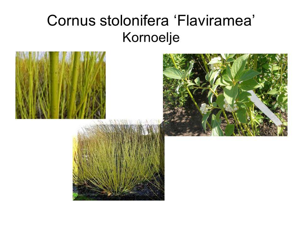 Cornus stolonifera 'Flaviramea' Kornoelje