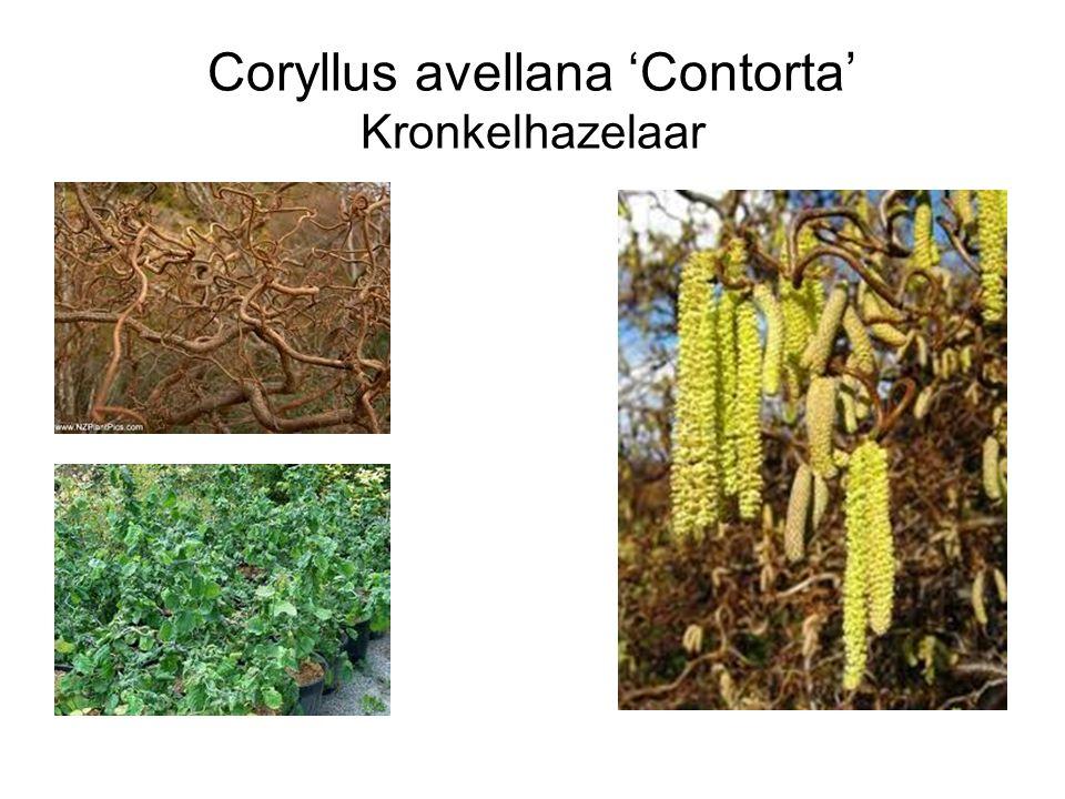 Coryllus avellana 'Contorta' Kronkelhazelaar