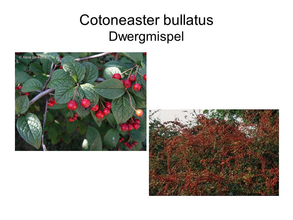 Cotoneaster bullatus Dwergmispel