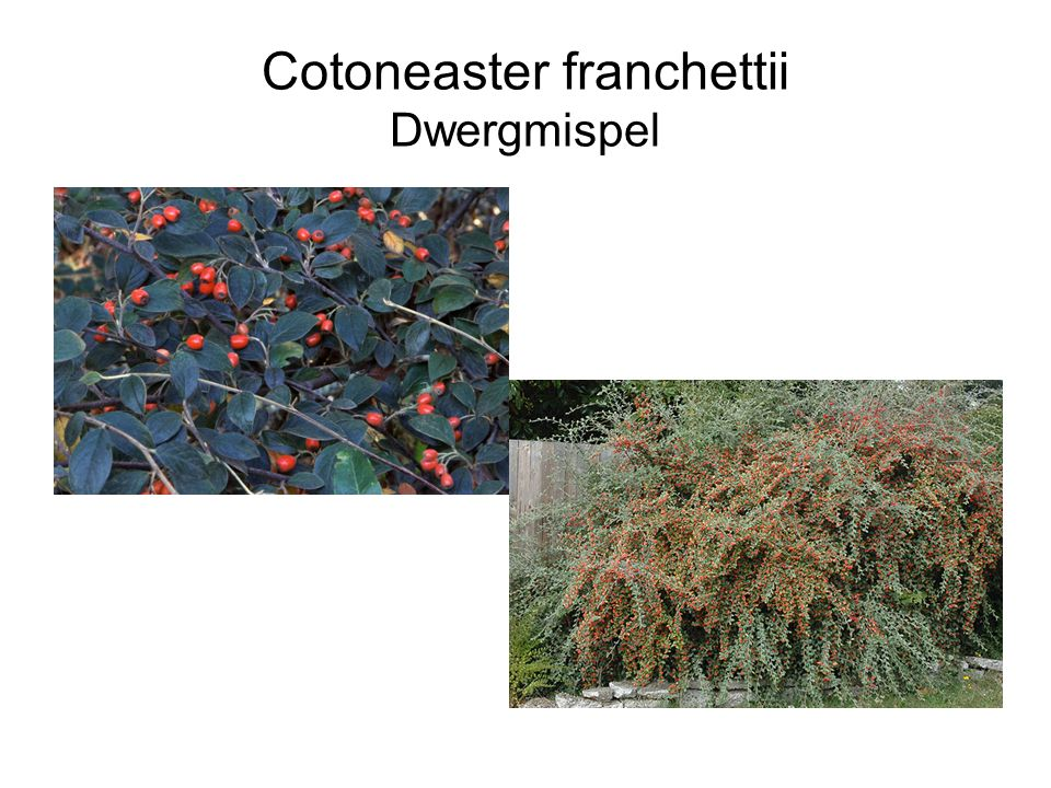 Cotoneaster franchettii Dwergmispel