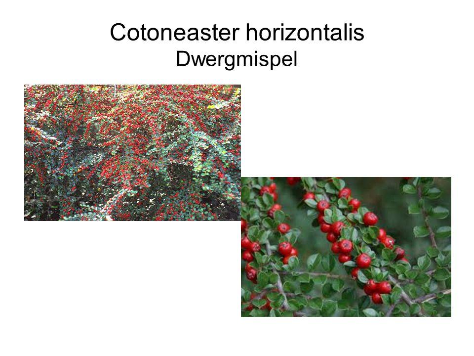 Cotoneaster horizontalis Dwergmispel