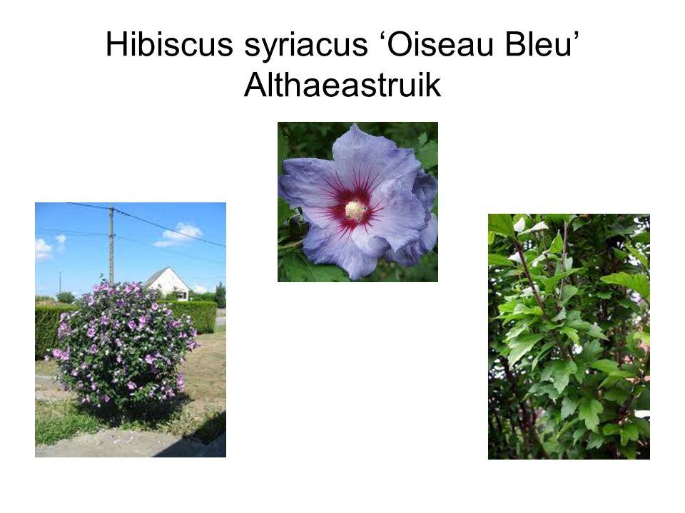 Hibiscus syriacus 'Oiseau Bleu' Althaeastruik