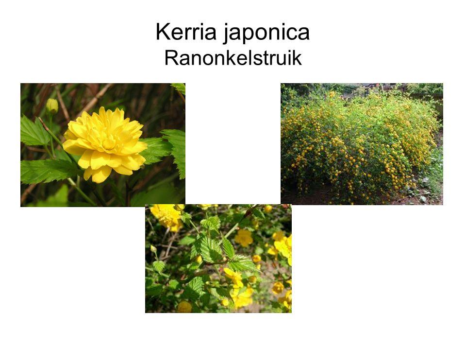Kerria japonica Ranonkelstruik