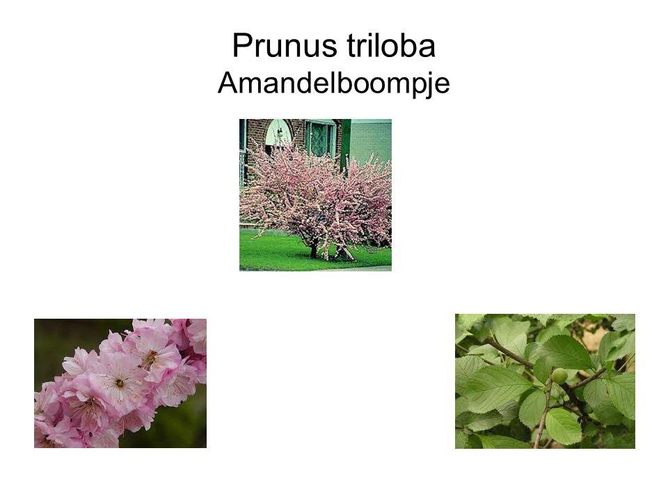 Prunus triloba Amandelboompje