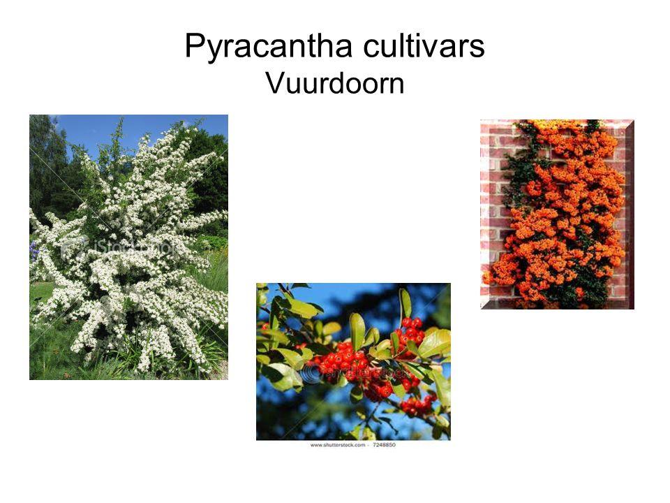 Pyracantha cultivars Vuurdoorn