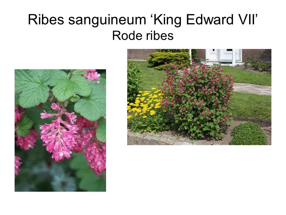 Ribes sanguineum 'King Edward VII' Rode ribes