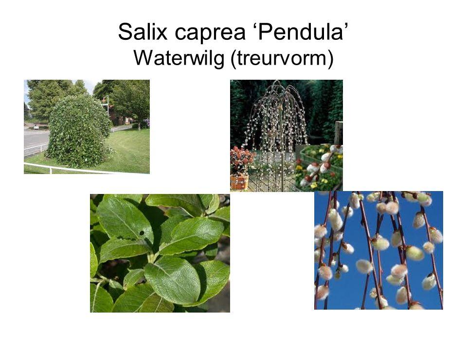 Salix caprea 'Pendula' Waterwilg (treurvorm)