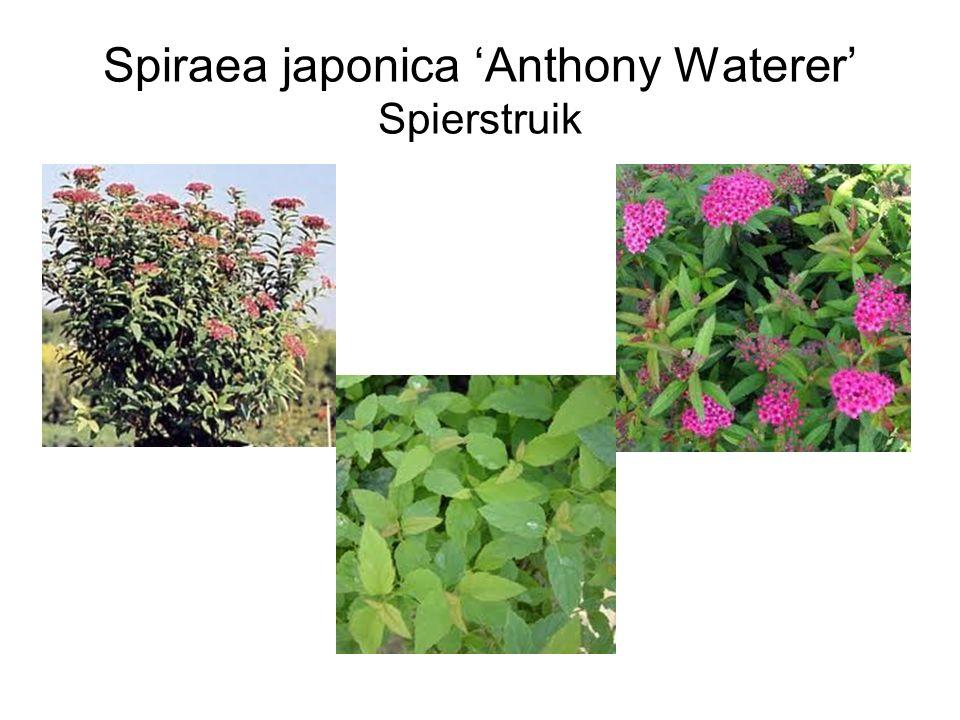 Spiraea japonica 'Anthony Waterer' Spierstruik