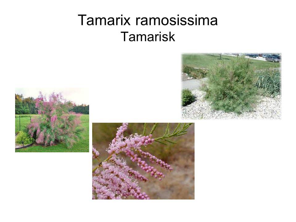 Tamarix ramosissima Tamarisk
