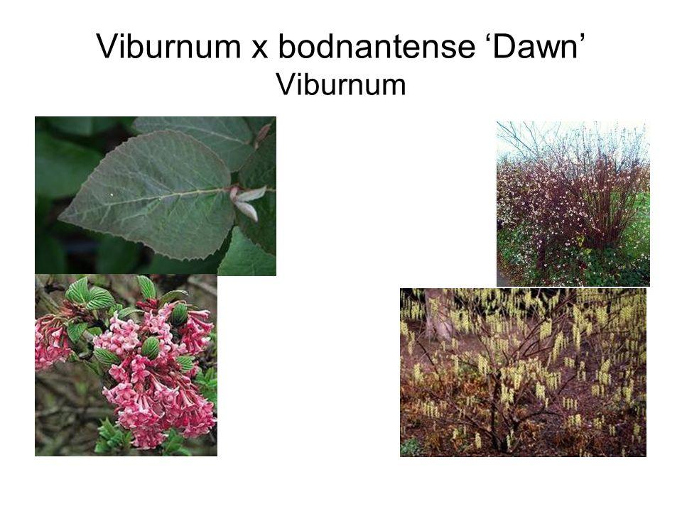 Viburnum x bodnantense 'Dawn' Viburnum
