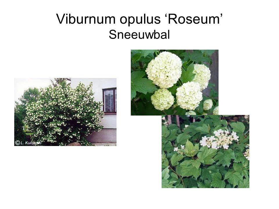 Viburnum opulus 'Roseum' Sneeuwbal