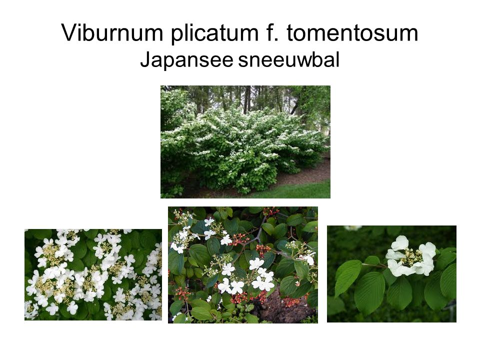 Viburnum plicatum f. tomentosum Japansee sneeuwbal