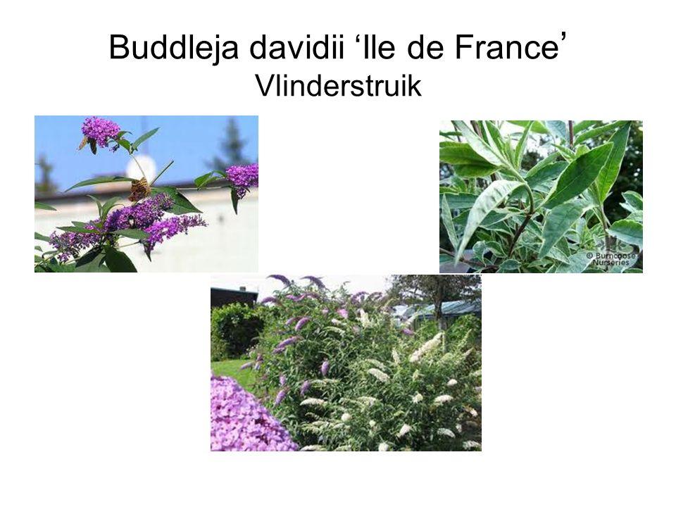 Buddleja davidii 'Ile de France' Vlinderstruik