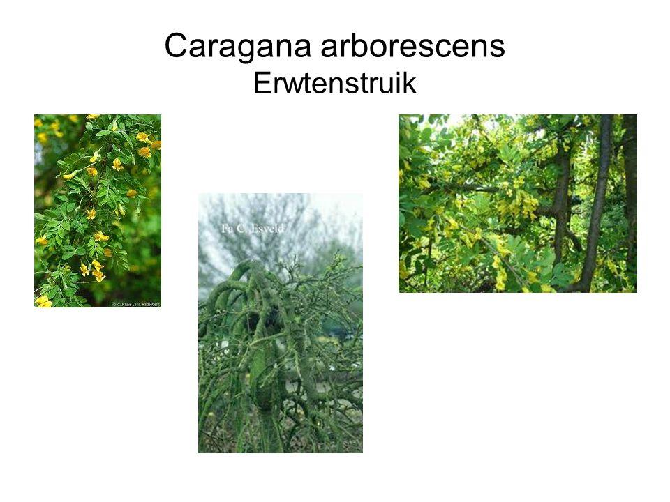 Caragana arborescens Erwtenstruik