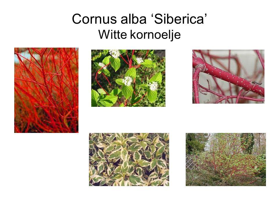 Cornus alba 'Siberica' Witte kornoelje