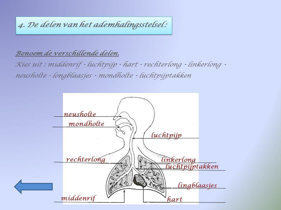 4. De delen van het ademhalingsstelsel :