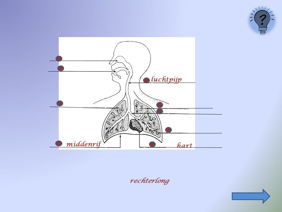 luchtpijp middenrif hart rechterlong