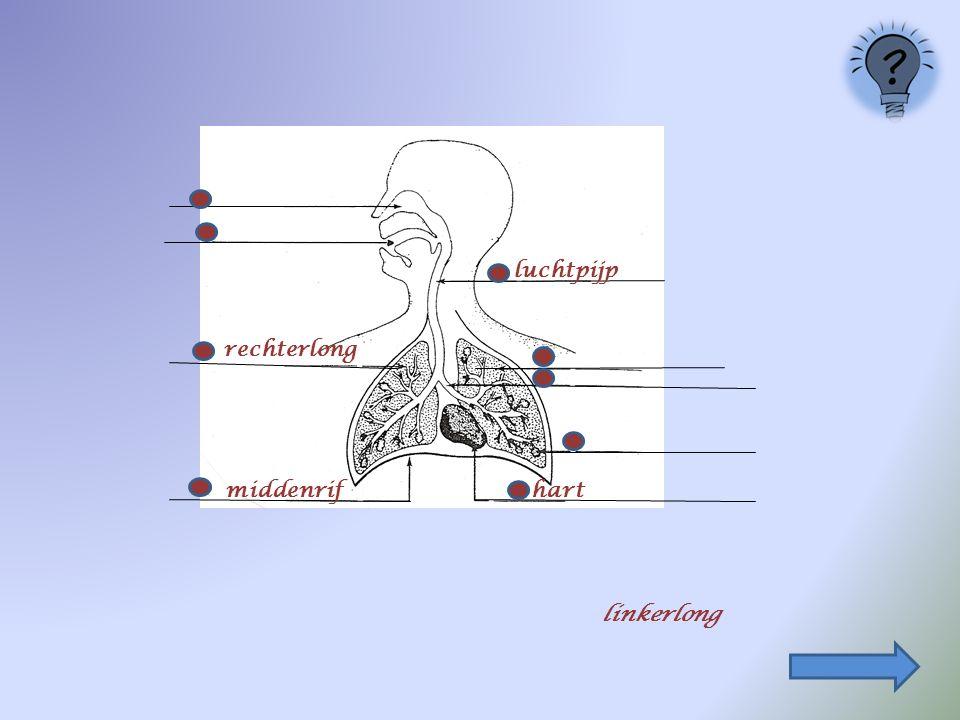 luchtpijp rechterlong middenrif hart linkerlong
