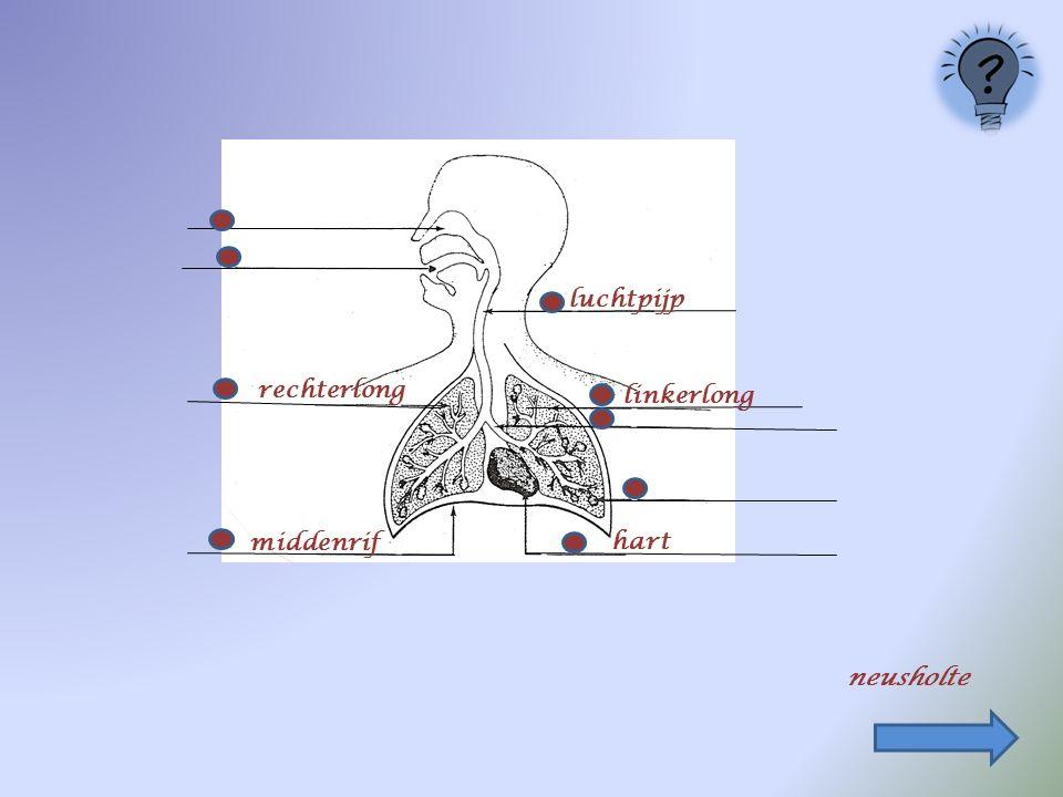 luchtpijp rechterlong linkerlong middenrif hart neusholte