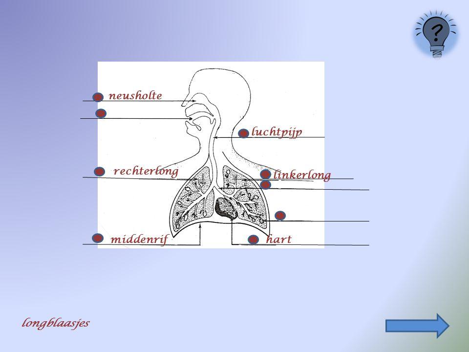 neusholte luchtpijp rechterlong linkerlong middenrif hart longblaasjes