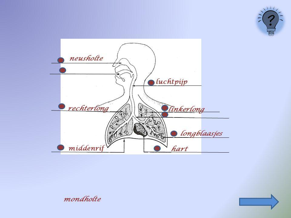 neusholte luchtpijp rechterlong linkerlong longblaasjes middenrif hart mondholte